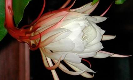Hoa quỳnh,sự tích hoa quỳnh,hoa nở về đêm,Hoa quỳnh