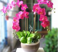 Lan hồ điệp,lan ho diep,hoa lan,hoa ngày tết,nữ hoàng của hoa lan,Phalaenopsis Blume,Lan hồ điệp