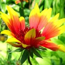 Cây hoa Mật