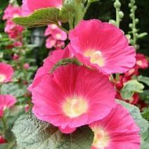 Hoa mãn đình hồng ( Thục Quỳ )