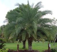 Cây chà là,cay cha la,chà là,cPhoenix,Arecaceae, cây chà là ăn trái, cây chà là giống, mua cây chà là, bán cây chà là,Cây chà là