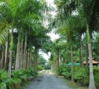 cau vua,cau cảnh,Roystonia,Arecaceae,cây cau,cây cảnh,cây ngoại thất,cây công trình,Cây Cau Vua