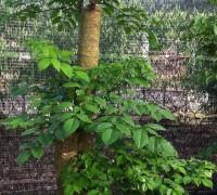 Cây hạnh phúc,cây nột thất,cây xanh,Cây hạnh phúc