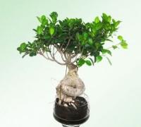 Cây Sâm Nhung,cây nội thất,cây bonsai,cây thủy sinh,Cây Sâm Nhung