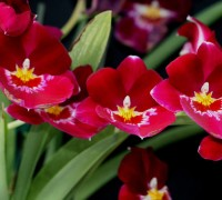 Lan Vũ nữ hoa đỏ,hoa lan vu nu,hoa lan,Oncidium,Sharry baby,Phong Lan,Lan Vũ nữ hoa đỏ