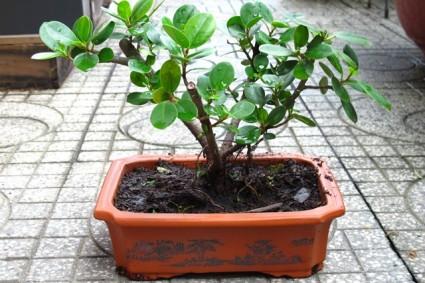 Cây Da Nhật,cây bonsai,bonsai,cây cảnh,Cây Da Nhật