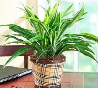 Đại Tứ Lan,dai tu lan,cây để bàn,cây văn phòng,cây nội thất,cây phong thủy,cây lan,Cây Đại Tứ Lan
