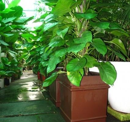 Trầu bà Saphia,Sapphire,cây nội thất,cây trầu bà,Philodendron erubescens,trầu bà,trau ba,Trầu bà Saphia ( Sapphire )