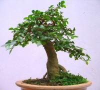 cây duối,cây duối bonsai,cây nội thất,Streblus asper,Cây duối