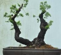 Kim Sa Tùng,cây Tùng,tùng bonsai,bonsai,Kim Sa Tùng