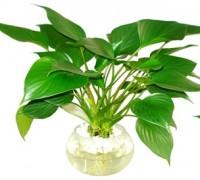 Cây Thanh tâm,Thanh Tâm,cây thủy sinh,cây trồng trong nước,cây để bàn,cây nội thất,cây phong thủy,Aglaonema modestum Schott,Aglaonema modestum Engl,Araceae,Thanh tâm