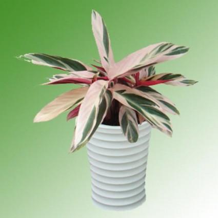 Cây Hồng Quân tử,hồng quân tử,hồng yến,hong quan tu,Cteranthe oppenheimiana,Marantaceae,Cây Hồng Quân tử ( Hồng yến )