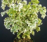 Đinh lăng trắng,đinh lăng,Gỏi Cá,Nam Dương Sâm,Polyscias variegate,Araliaceae,Đinh lăng trắng