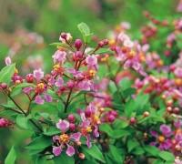 Hồng ngọc mai,cây hồng ngọc mai,hong ngoc mai,sơ ri,so ri,sơ ri cảnh,Malpighia glabra,Malpighiaceae,cây nội thất,cây phong thủy,Hồng ngọc mai