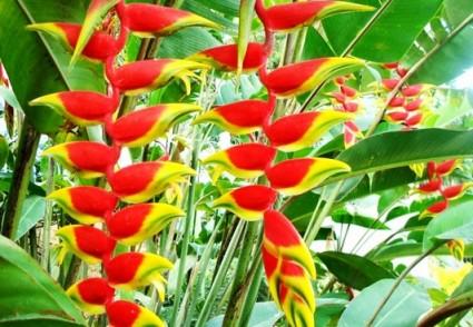 Chuối tràng pháo,chuối pháo,chuối cảnh,Heliconia rostrata,cây chuối,Chuối tràng pháo