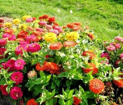 Hoa duyên cúc,hoa ngũ sắc,hoa cánh giấy,hoa cúc,Zinnia elegans Jacq,Asteraceae,mexico,Hoa Duyên cúc