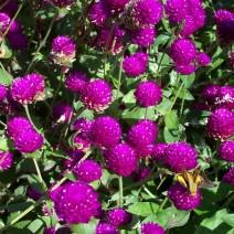 Hoa cúc Bách Nhật ( Cúc Pha Lê )