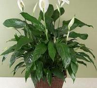Huệ hòa bình,cây huệ hòa bình,hoa huệ,cây nội thất,cây phong thủy,Spathiphyllum sp,Peace Lily,White Flag,Huệ hòa bình