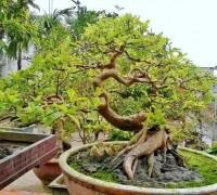 Cây ổi,ổi,ổi cảnh,cây ổi cảnh,cây ổi bonsai,ổi mỡ,ổi trâu,ổi găng,ổi đào,ổi nghệ,cây bonsai,Psidium guajava,Đào kim nương,Cây ổi