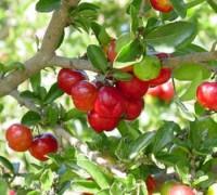 Sơ Ri,cây Sơ Ri,kim đồng nam,acelora,sơ ri Barbados,cây bonsai,Cây Sơ Ri