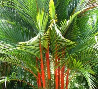 Cây cau đỏ,cau đỏ,cau đỏ bẹ,cay cau do,cây cau,cau cảnh,cau cảnh đỏ,Cyrtostachys renda,Arecaceae,cây nội thất,cây ngoại thất,Cây cau đỏ