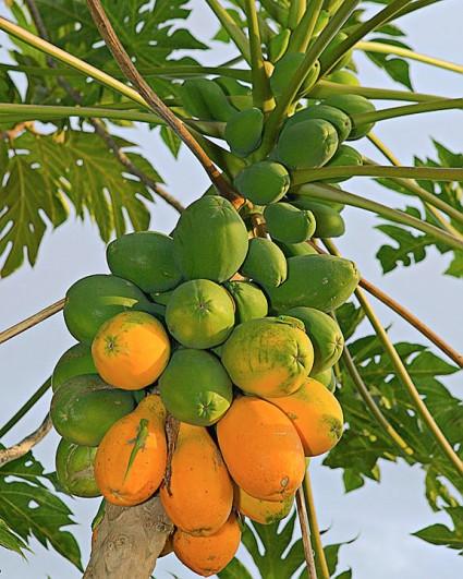 Đu đủ,cây đu đủ,du du,quả đu đủ,Carica papaya,Caricaceae,cây ngày Tết,cây ăn quả,quả đu đủ,đu đủ chín,Đu đủ