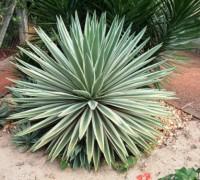 Thùa lá hẹp,thùa lá trắng,dứa lá trắng,cây thùa,Agave angustifolia,Agave breedlovei,Agave vivipara,Thùa lá hẹp (thùa lá trắng,dứa lá trắng)
