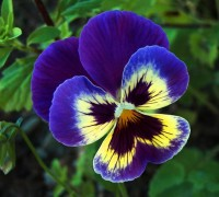 Hoa Păng xê,hoa pang xe,hoa bướm,tử la lan,hoa buom,y nghia cua hoa pang xe,Viola tricolor,pang-xe,pang se,pensee,hoa tình yêu,hoa tinh yeu,Hoa Păng xê
