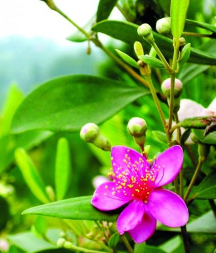 Hoa Sim,hoa sim tím,cây hoa sim,sim tím,hồng sim,đào kim nương,cương nhẫm,dương lê,Rhodomyrtus tomentosa,Myrtaceae,Hoa Sim