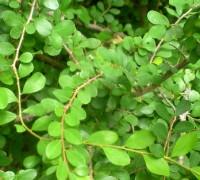 Cây sơn liễu,cay son lieu,sơn liễu,son lieu,sơn liễu thái,son lieu thai,Phyllanthus cochinchinensis muell,thầu dầu,Euphorbiaceae,cây bụi cảnh,cây bonsai,Sơn Liễu