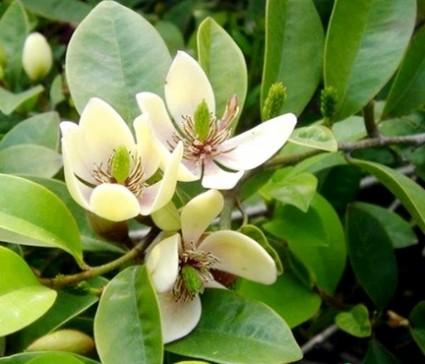 Cây hàm tiếu,cay ham tieu,hàm tiếu,ham tieu,dạ hợp hương,da hop huong,Michelia fuscata,ngọc lan,Magnoliaceae,Hàm tiếu ( Dạ hợp hương )