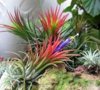 Cây Không khí,cay khong khi,Tillandsia,Air plant,Bromeliaceae,dứa,Cây Không khí
