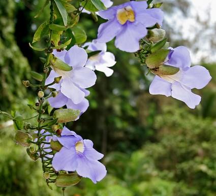 Hoa cát đằng,hoa cat dang,cát đằng,cat dang,bông báo,dây bông xanh,Thunbergia grandiflora,Acanthaceae,cây hoa,Cát đằng