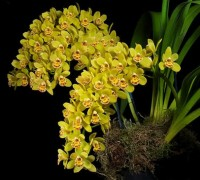 Cây địa lan,cay dia lan,địa lan,dia lan,hoa địa lan,phong lan,hoa lan,Cymbidium hybrid,Hoa Địa lan