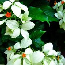 Cây bướm bạc - bướm trắng