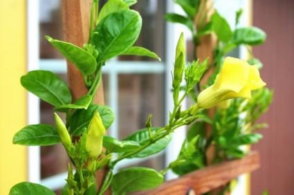 Cây huỳnh đệ,cay huynh de,huỳnh đệ,huynh de,cây leo,entalinon luteum,Urichites lutea,họ Apocynaceae,Cây huỳnh đệ