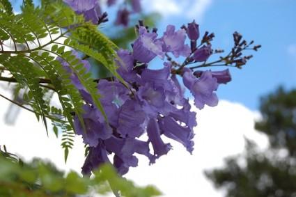 phượng tím,hoa phượng tím,cay phuong tim,cây phượng,phượng,hoa phượng,hoa học trò,acaranda mimosifolia,Jacaranda acutifolia,cây ngoại thất,Phượng tím