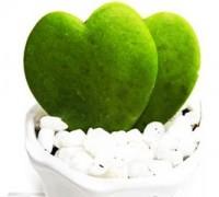 Cây tình yêu,cay tinh yeu,cây trái tim,cây lá hình trái tim,cay la hinh trai tim,cay noi that,cay phong thuy,cây văn phòng,Cây tình yêu
