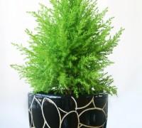Cây tùng thơm,cay tung thom,cây tùng,tùng thơm,tung thom,tùng hương,Cupressus macrocarpa,Cây Tùng Thơm