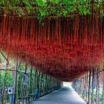 Liêm Hồ Đằng - dây tơ hồng - cây mành mành