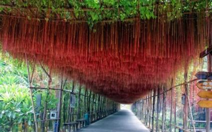 dây liêm hồ đằng,liêm hồ đằng,liem ho dang,dây tơ hồng,tơ hồng,dây leo hoàng đế,râu hoàng đế,day leo hoang de,rau hoang de,cây leo,dây leo,Cissus verticillata,Vitaceae,Liêm Hồ Đằng - dây tơ hồng - cây mành mành