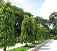 Cây hoàng nam,cay hoang nam,hoàng nam,hoang nam,cây ngoại thất,cây công trình,Polyalthia longifolia,họ Na,Annonaceae,Cây Hoàng Nam