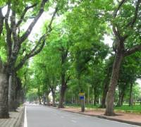 Xà cừ,cây xà cừ,sọ khỉ,quả gỗ,Khaya senegalensis,Meliaceae,cây đường phố,cây công trình,cây ngoại thất,Xà cừ
