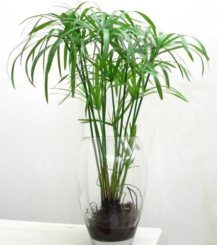 Thủy trúc,cây thủy trúc,thuy truc,cây trúc,lác dù,Cyperus involucratus,cây cói,Cyperaceae,cây phong thủy,cây thủy sinh,Thủy trúc