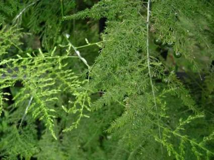 Măng leo,mang leo,cây măng leo,cây trang trí,cây bó hoa,họ Thiên Môn,Asparagaceae,Măng Leo