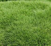 Cỏ lông heo,co long heo,lông heo,thảm cỏ,cỏ lông lợn,cây cỏ,Zoysia Tenuifolia,kỹ thuật trồng cỏ lông heo,chăm sóc cỏ lông heo,Cỏ lông heo