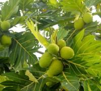 xa kê,sa kê,cây xa kê,cây sa kê,cây bánh mì,Artocarpus altilis,họ dâu tằm,Moraceae,cây ăn quả,cây ngoại thất,cây lương thực,Xa kê ( sa kê, cây bánh mì )