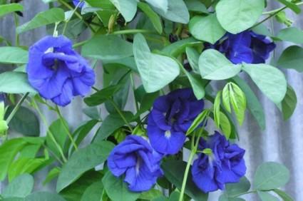 đậu biếc,hoa đậu biếc,đậu hoa tím,bông biếc,ý nghĩa của hoa đậu biếc,Clitoria ternatean,họ Đậu,Fabaceae,Đậu biếc ( đậu hoa tím - bông biếc )