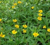 cỏ xuyến chi,co xuyen chi,cúc mặt trời,cây thảm cỏ,cây nền,Wedelia trilobata,họ thực vật cúc,Asteraceae,Cỏ xuyến chi