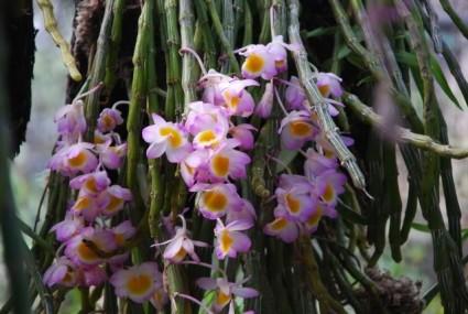 hoàng thảo long tu,hoa lan hoàng thảo long tu,hoa lan,hoa lan hoàng thảo,lan hoàng thảo,Dendrobium Primilinum,Hoa lan Hoàng Thảo Long Tu